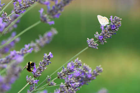 Bumblebee and little butterfly on lavender flowers Stock Photo