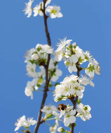 apis: Apis mellifera on white pear blossom Stock Photo