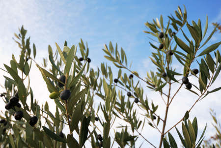 Olive tree branches with fruits over sky background (traditional peace symbol) Stock Photo