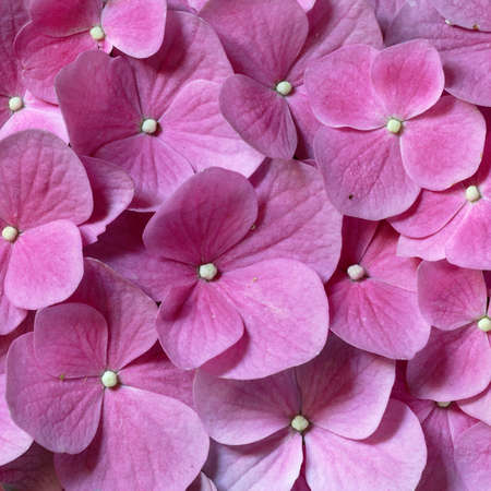 Pink background created with a large group of Hydrangea flowers