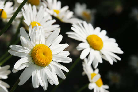 Group of Daisy flowers over dark background photo