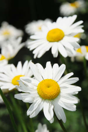 Group of white Daisy flowers illuminated by the sun Stock Photo