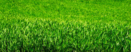 Young green wheat plants in a field photo
