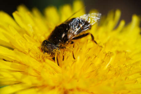 syrphid fly: Detail of a Syrphid fly on yellow dandelion flower (very selective focus only on bugs eye) Stock Photo