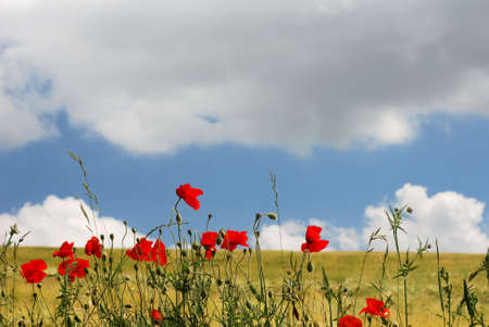 Red poppies on the edge of a golden field