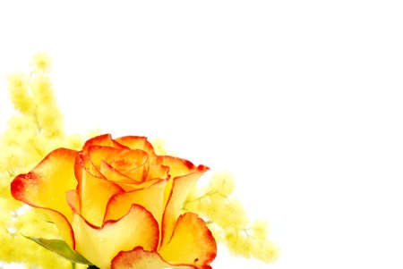Yellow and red rose photographed on white background photo