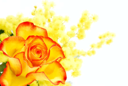 Yellow and red rose with mimosa photographed on white background photo