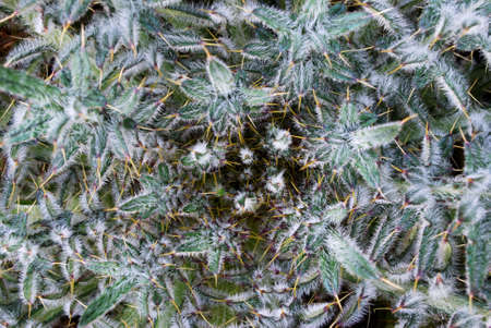 Detail of a young milk thistle plant viewed from above photo