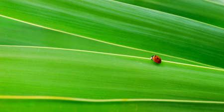 Bright green leaves with little red Ladybird photo