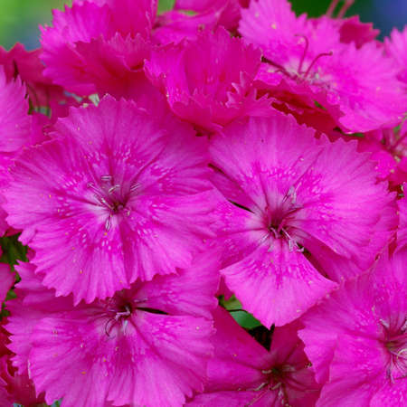 Bright pink background created with sweet williams flowers