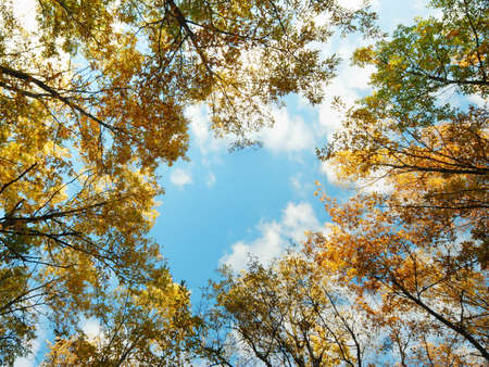 Looking up at a golden oak tree tops in autumn