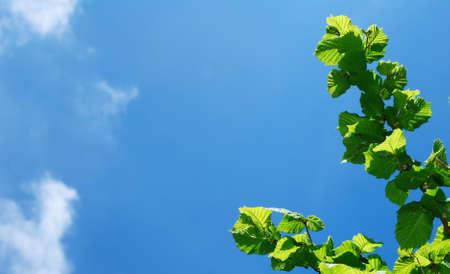 albero nocciola: Ramo di albero di nocciolo verde fresco contro il cielo blu