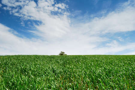 Empty green wheat field with far away tree and moody white and blue sky (selective focus on foreground plants)