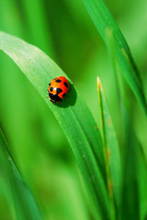 Little red Ladybird on bright green grass leaves (selective focus on ladybird back) Stock Photo