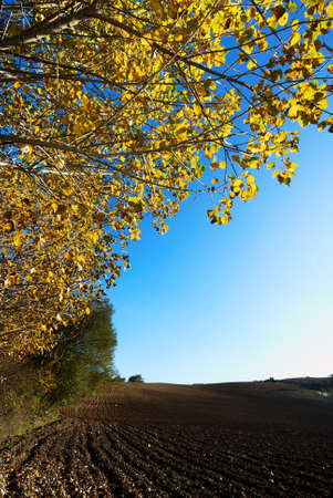 Fall landscape with golden poplar tree and plowed field
