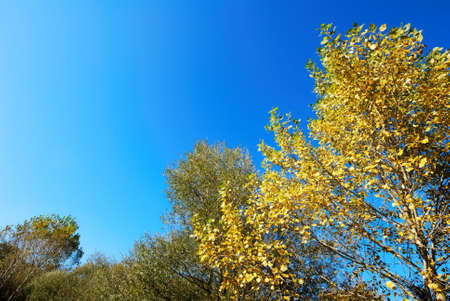 Autumnal yellow poplar tree tops against blue sky Stock Photo