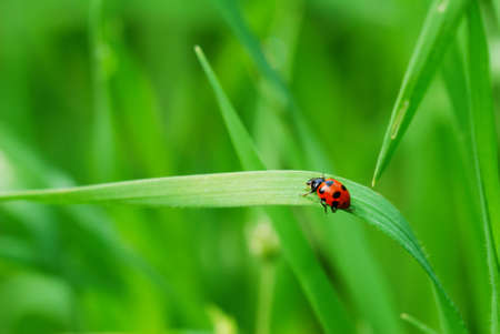 Red spotted Ladybird on green blade of grass (selective focus on ladybird back) Stock Photo