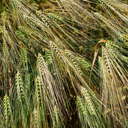 Green and golden barley heads Stock Photo - 7496789