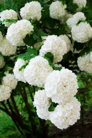 viburnum: Viburnum opulus Compactum bush with white flowers (selective focus on flowers)