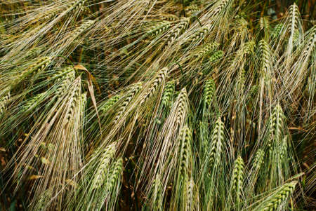 Group of green and golden barley heads photo
