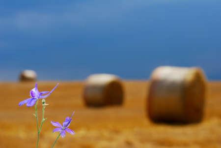 small purple flower: Small purple flower in straw field under dark moody sky (selective ocus on single flower)