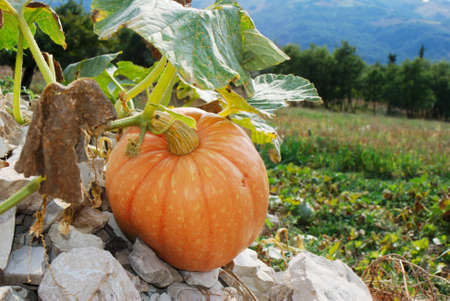 large pumpkin: Large pumpkin plant and fruit growing on stones