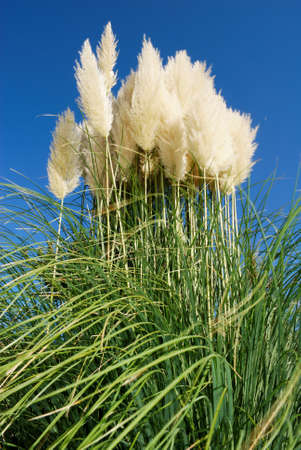 Large bunch of pampas grass under clear blue sky Stock Photo
