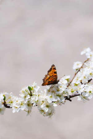 nymphalis: Small tortoiseshell (Nymphalis sp) butterfly on a branch of white prunus flowers Stock Photo