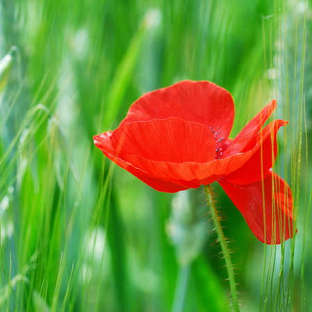 Single red poppy among green wheat stems photo