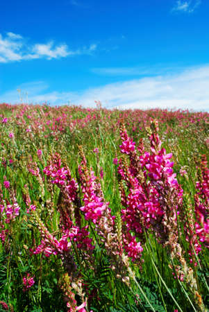 Pink flowers in a meadow with bright blue sky