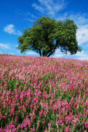 Solitary oak tree in a field of bright pink flowers