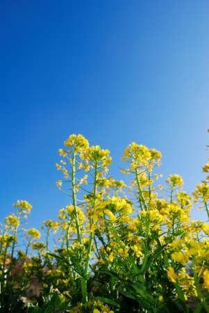 Yellow Brassica flowers against bright blue sky (selective focus on foreground flower)