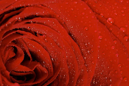 Detail of a dark red rose with water drops (extreme close-up with shallow dof) Stock Photo