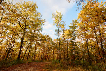 Golden oak tree forest in autumn with little lane Stock Photo