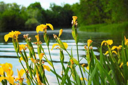 Yellow irises as a bright sun grows on the banks of a fast river