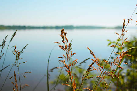 spikelets and stems of dry soft grass on the background of a calm Volga river summer sunny day
