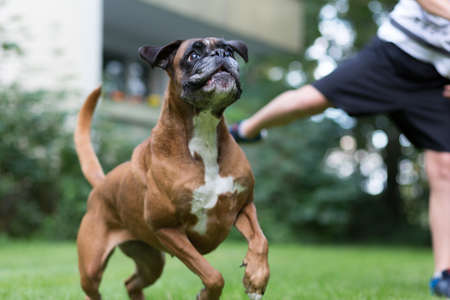 Boxer plays with child Stock Photo