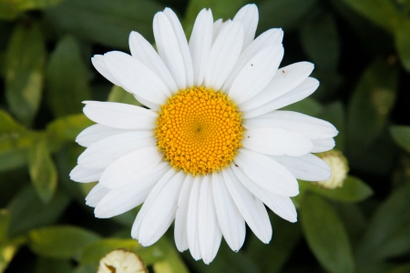 shasta daisy: Daisy
