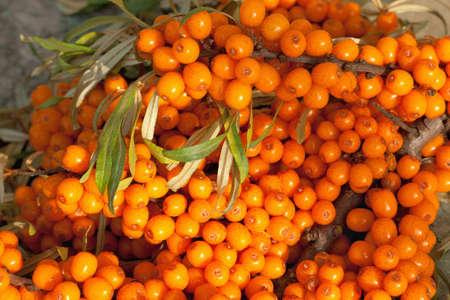 seabuckthorn: Sea-buckthorn berries