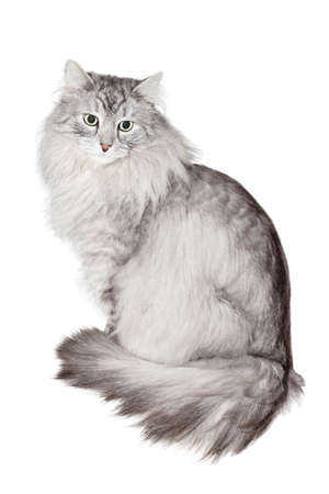big eyes: gray siberian cat on white background Stock Photo