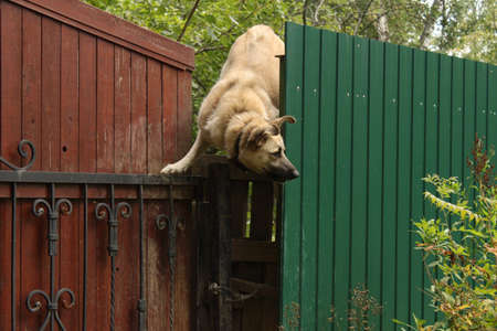 funny dog climbs over the fence 免版税图像