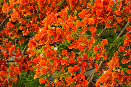 flamboyant: Flamboyant of Delonix Regia in een tropische tuin
