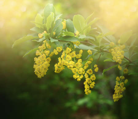 Beautiful barberry flowers with bokeh and soft focus. Floral background. Nature bokeh.