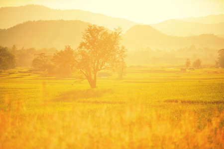 non cultivated: rice field in sunset