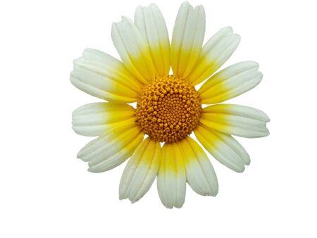 white daisy flower macro. With path inside Stock Photo