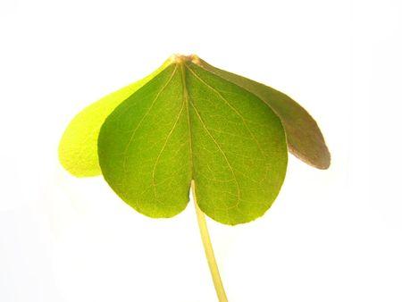 St. Patrick symbol, a green shamrock