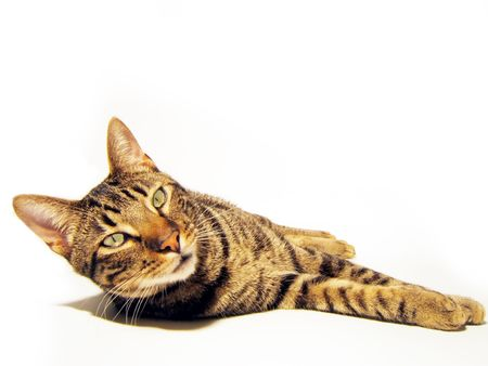 isolated complete cat. Is looking at you!