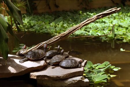 group of turtles looking up inside a marsh Stock Photo