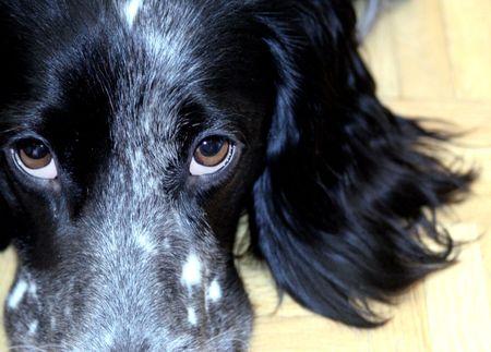 dog eyes portrait