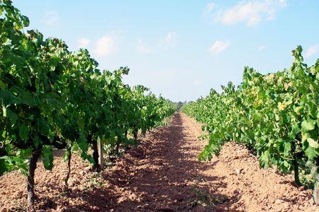 grape plants for making wine Stock Photo